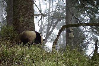 一对野生大熊猫母子玩耍爬树