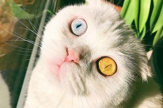 折耳猫生成异色瞳高颜值
