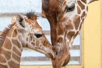 荷兰长颈鹿妈妈弯腰哄宝宝