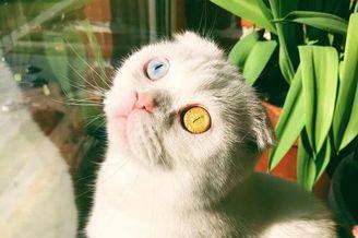 苏格兰折耳猫生成异色瞳