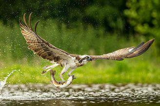 鱼鹰俯冲入水捕鱼