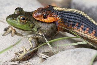 野生小蛇捕食青蛙