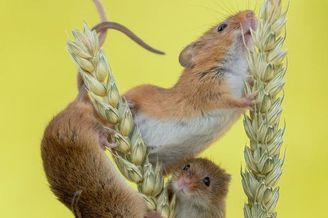 英国多塞特田鼠穿行稻草杆间