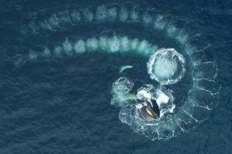 航拍座头鲸觅食现场