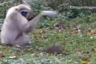 长臂猿第一次见到老鼠的反应