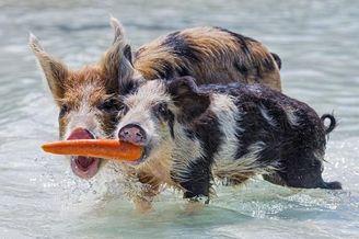 巴哈马群岛海滩猪水中撕抢食物