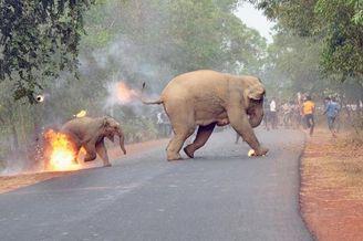 印度野生动物摄影:火烧小象