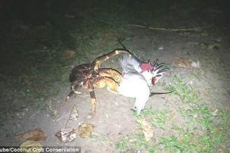 椰子蟹爬树猎杀海鸟