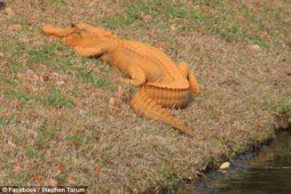 美国发现罕见亮橙色短吻鳄