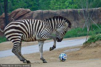 高清图-韩国主题公园动物大玩足球