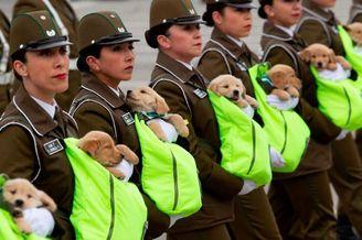 智利阅兵式警犬宝宝也来凑热闹