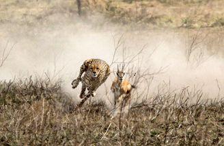 矫健猎豹狂追羚羊上演终极猎杀